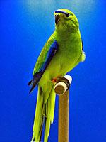 Australische Sittiche Schmucksittich wildfarbig O. Kölblin Bühler AZ 10726
