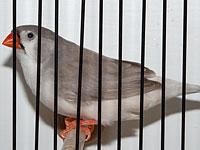 Zebrafinken 0,1 Zebrafink Schwarzbrust-Hellrücken Grau + Braun R. Haag (27673)