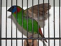 Exoten Buntkopf Papageienamadine Australischer Prachtfink Jörg Landenberger (31352)