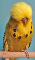 3-200-bester-jungvogel-2016-timo-harr-mit-10-zimt-graugruen