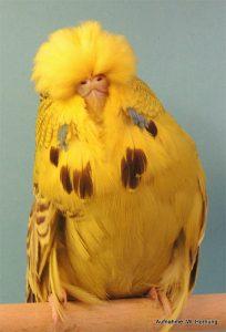 Bester Altvogel GG Ralph Jenne /17567) mit 0,1 Zimt Graugrün