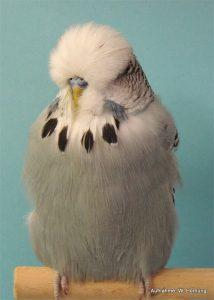 Bester Jungvogel Christian Back (9814) mit 1,0 Grau