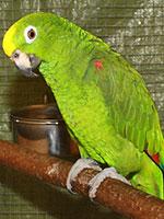 Sonstige GS / Papageien Gelbscheitelamazone Tereszinha Frasson-Bubeck (7262)