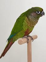 Sonstige GS / Papageien Braunohrsittich wildfarbig Thomas Tix (36483)