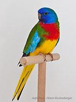 Australische Sittiche Glanzsittich wildfarbig Hubert Wiehle (7938)