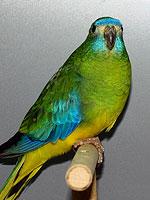 Australische Sittiche Schönsittich wildfarbig H. Wiehle AZ 7938