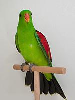 Australische Sittiche Rotflügelsittich wildfarbig Rudi Herzig (42906)
